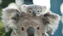 Billabong Koala and Wildlife Park - Accommodation Find