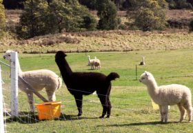 Maydena Country Cabins Accommodation  Alpaca Stud - Accommodation Find