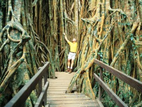 Curtain Fig Tree - Accommodation Find