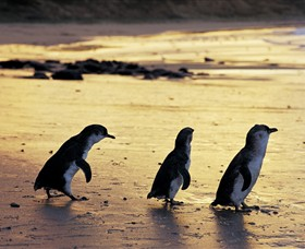 Phillip Island Nature Park - Accommodation Find