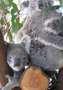 Cohunu Koala Park - Accommodation Find