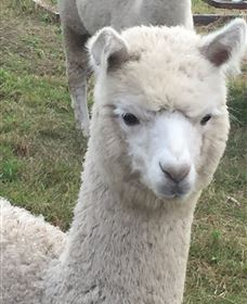Storybook Alpacas - Accommodation Find