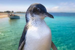 Full-Day Penguin Island  Fremantle Town - Accommodation Find