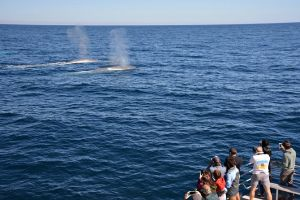 Blue Whale Perth Canyon Expedition - Accommodation Find
