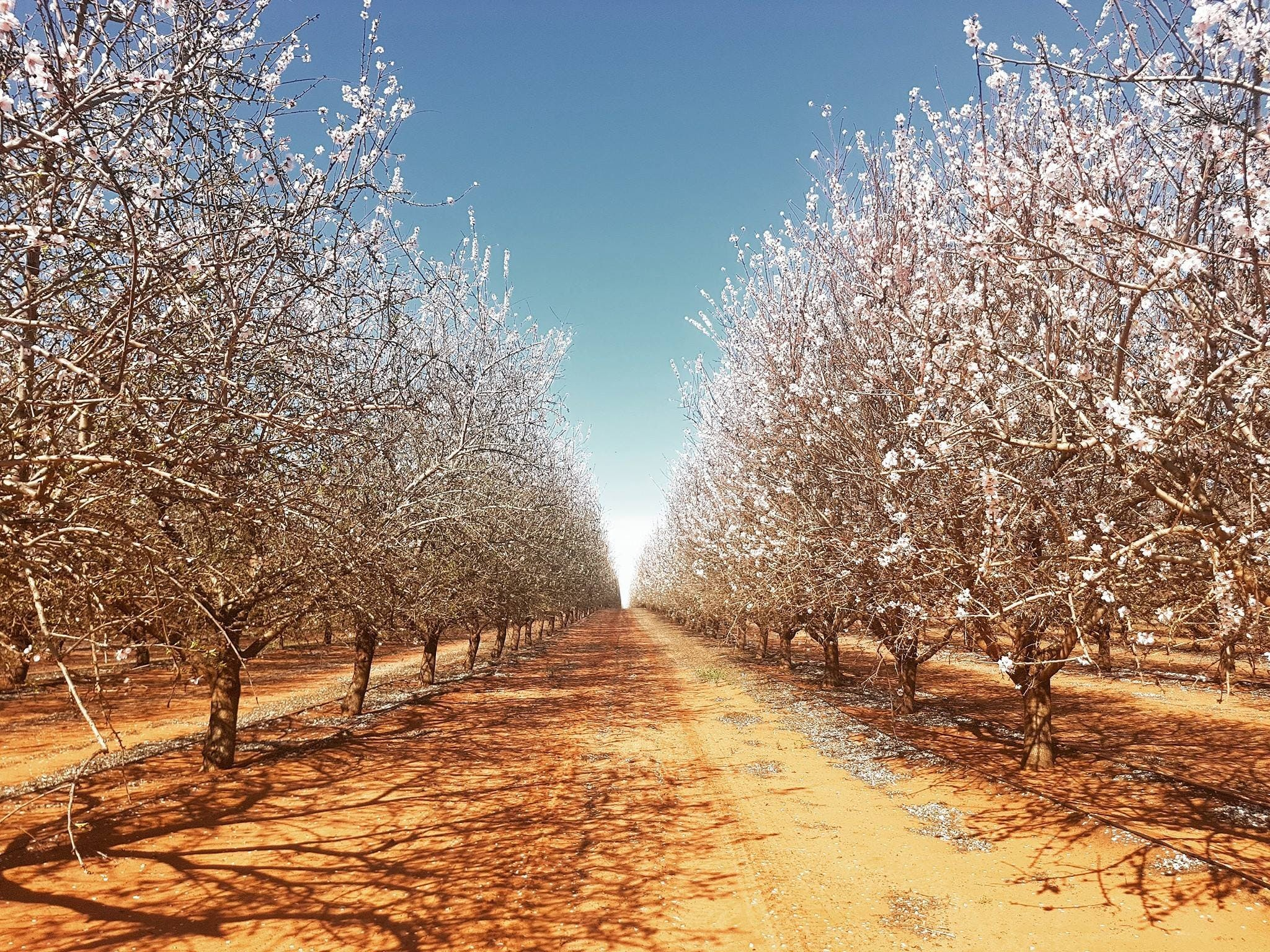 Mallee Almond Blossom Festival - Accommodation Find