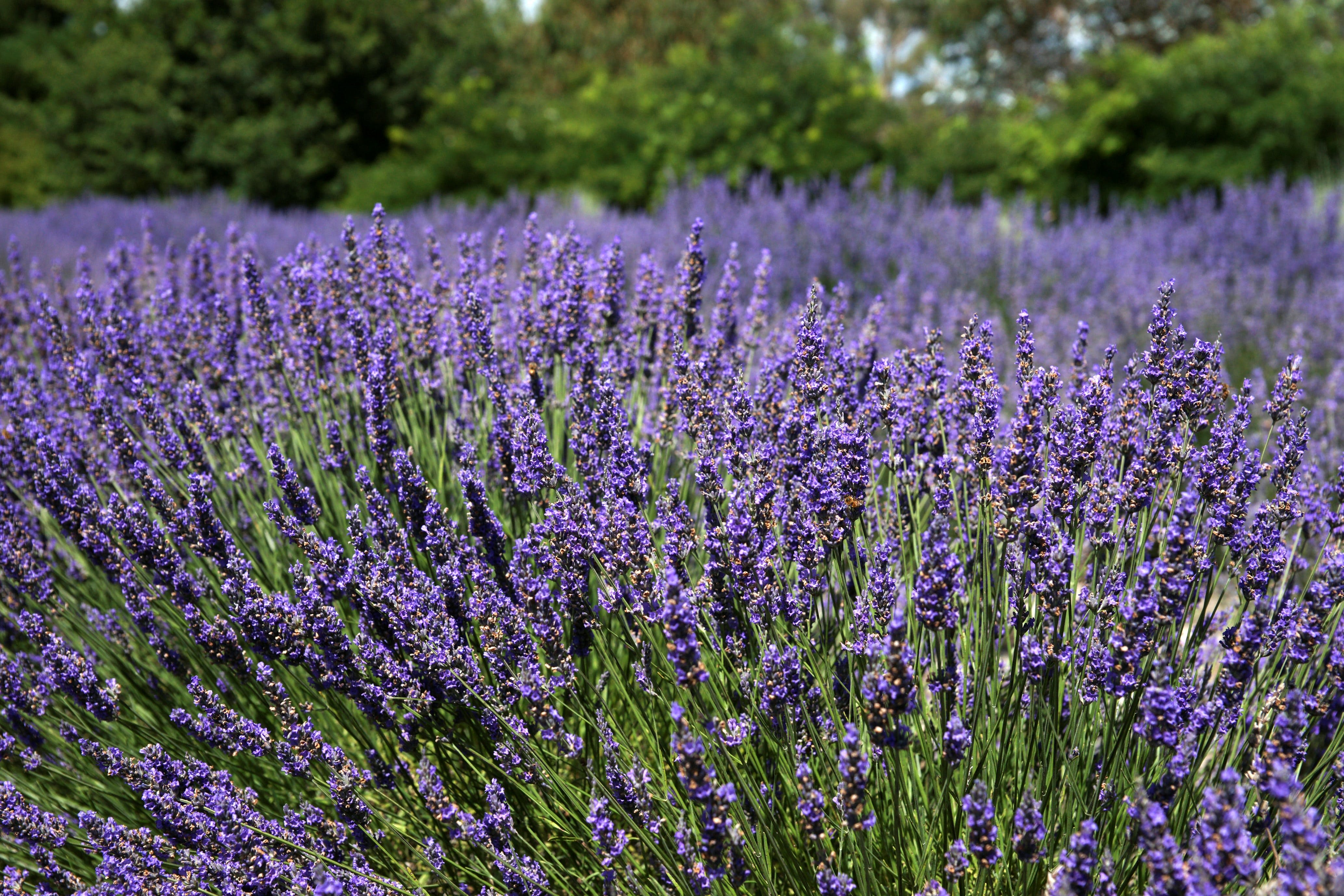 Lavender Herb and Chilli Festival - Accommodation Find